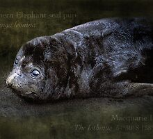 2 week old seal pup by hartpix