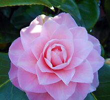 An Easter Blossom - Pink Camelia by Kathryn Jones