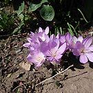 Purple crocus by Aurora