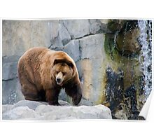 Grizzly at the Waterfall Poster