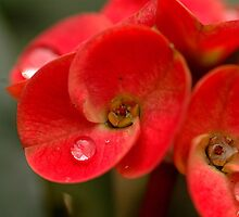 Sparkling Red by Amrit Ammu