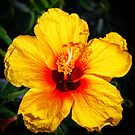 Hawaiian State Flower - Pua Aloalo, Hibiscus brackenridgei. by Daniel Carr