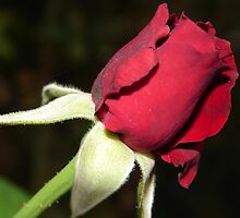 Red Rose by AHakir