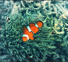 Clownfish by PhilM031