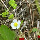 Once Upon A Time There Were Two Tiny Wild Strawberries ... by ArtOfE