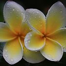 Christmas Frangipani 2010 by Keith G. Hawley