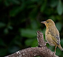 Cape Weaver by Warren. A. Williams