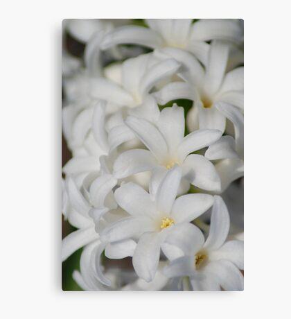 White Hyacinth Canvas Print