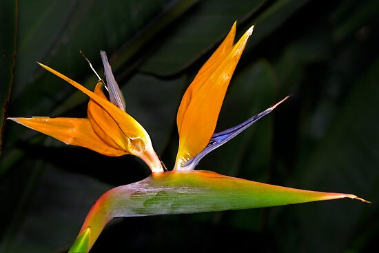 Bird of paradise by cclaude