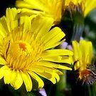 dandelion by wistine