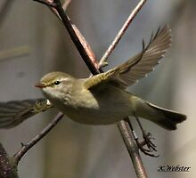 Willow Warbler by webbo