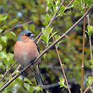 Chaffinch - Woolston Eyes by Chris Monks
