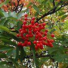 Red Rowan Berries in the Rain by kathrynsgallery