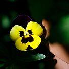 Little pansy in sunlight by Lynn Starner