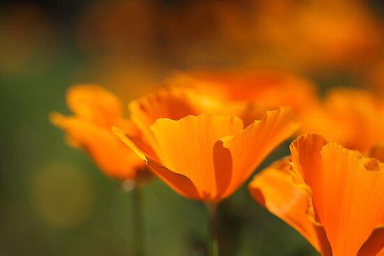 California Poppies  by bubblenjb