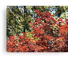 Japanese Oak Tree Canvas Print
