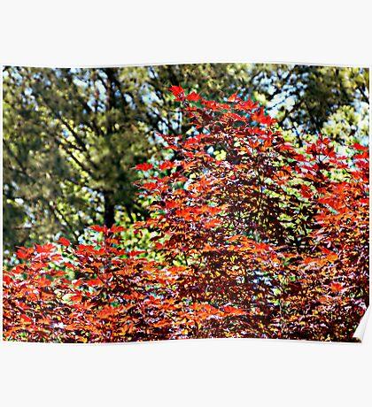 Japanese Oak Tree Poster