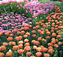 Pink and Orange Frilled Tulips - Keukenhof Gardens by BlueMoonRose
