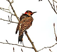 Northern Flicker by Larry Trupp