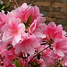 Azaleas Outside the Pequannock Library by Jane Neill-Hancock