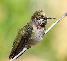 Hummingbird Watch  by Saija  Lehtonen