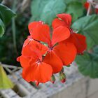 Red Geranium by KylieB