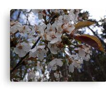 Cherry Blossoms Canvas Print