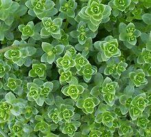 succulents by junipermcj