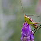 Grasshopper on Lavander by Greg Ting