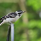 Female Downy Woodpecker by Ron Russell