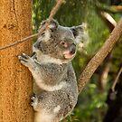 Climbing Koala by Sandra Chung