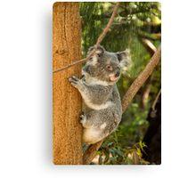 Climbing Koala Canvas Print