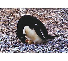 Adelie Penguin on its Nest Photographic Print