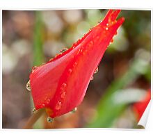 Single red tulip after the rain Poster