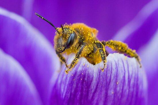Pollen-covered Bee On Crocus Petal. by Daniel Cadieux