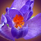 Crocus by Irina777