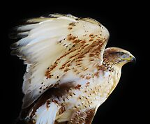 Ferruginous Hawk by Paulette1021