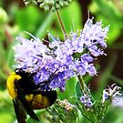 bumble bee on lavender by Christine Ford