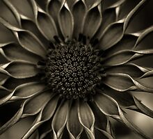 African Daisy in monochrome by alan shapiro