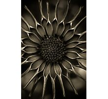 African Daisy in monochrome Photographic Print
