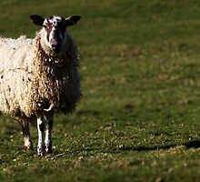 North Yorkshire Sheep by Will Corder | Photography