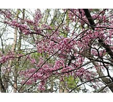 Redbud Tree Photographic Print