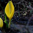 Skunk Cabbage by hanne