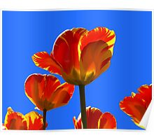 Electric Orange & Yellow Tulips Poster