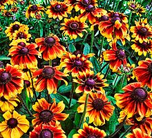 Yellow and Red Black-Eyed Susan Flowers by RMVera