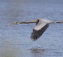 Great  Blue Heron in flight by Gregg Williams