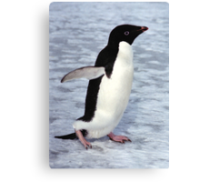 Adelie Penguin Walking on the Fast Ice Canvas Print
