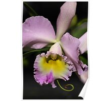 Cattleya Orchid in Pink & Mauve Poster