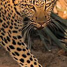 Barely a glance by Explorations Africa Dan MacKenzie