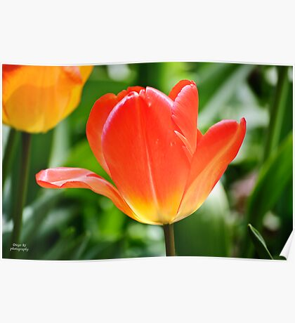 Full Bloomed Tulip Poster